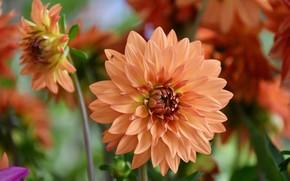 Picture macro, flowering, dahlias