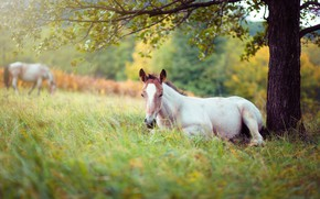 Picture white, grass, branches, nature, tree, horse, stay, glade, foliage, horse, pasture, meadow, lies, lawn, young, …