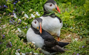 Wallpaper summer, grass, flowers, birds, sprig, background, two, pair, stalled, Atlantic puffin, stubs