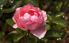 Picture flower, rose, pink rose