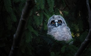 Picture look, branches, the dark background, owl, bird, spruce, needles, owlet