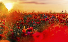 Picture summer, the sky, the sun, sunset, flowers, nature, bright, Maki, meadow, red, bokeh, poppy field