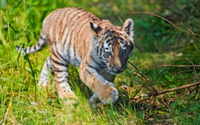 Picture greens, summer, grass, look, branches, nature, tiger, pose, baby, cute, is, face, wild cat, tiger, …