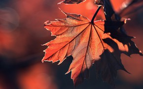 Picture macro, sheet, background, maple leaf