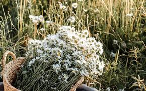 Picture field, basket, chamomile