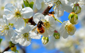 Picture macro, flowers, bee, branch, spring, insect, bumblebee, Apple, flowering, pollination, in bloom