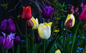 Picture branches, the dark background, spring, yellow, garden, purple, tulips, red, buds, flowerbed, colorful, different