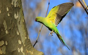 Picture nature, background, wings, parrot