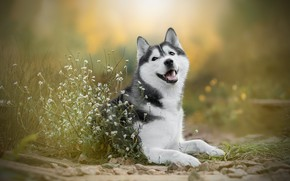 Picture flowers, dog, bokeh, Husky
