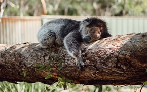 Picture tree, sleep, sleeping, Koala