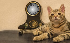 Picture cat, cat, look, face, table, background, wall, watch, paws, lies, dial, striped