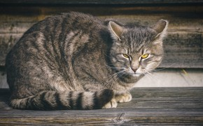 Picture cat, cat, look, face, grey, background, Board, sitting, striped, handsome, yellow eyes