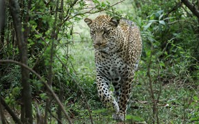 Picture forest, nature, leopard, big cat