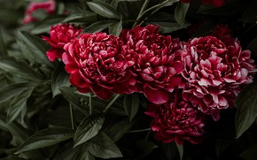 Picture flowers, Bush, red, peonies