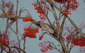 Picture autumn, branches, berries, tree, bird, fruit, red, Rowan, bunches, the Waxwing