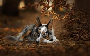 Picture autumn, forest, look, face, leaves, branches, nature, pose, Park, background, foliage, Bush, portrait, dog, lies, …