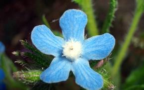 Picture Flower, Blue Flower, Macro Flower