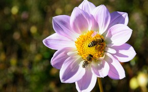 Picture bees, flowering, bokeh, Dahlia