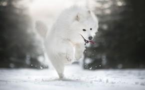 Picture winter, snow, mood, dog, walk, Samoyed