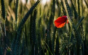 Picture flower, drops, light, red, one, Mac, rye, Maki, spikelets, ears, cereals, rye field