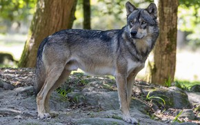 Picture look, nature, pose, grey, wolf