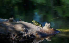 Picture light, frog, log, green, pond