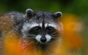 Picture look, background, raccoon, face