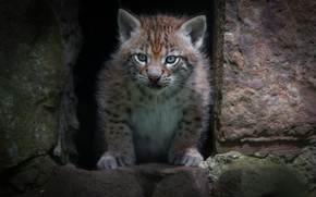 Picture look, face, nature, stones, background, wall, portrait, hole, paws, Nora, baby, lynx, sitting, wild cat, …