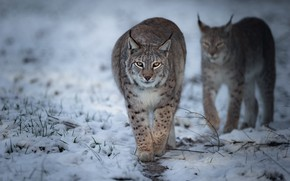 Picture winter, snow, two, pair, walk, lynx, lynx