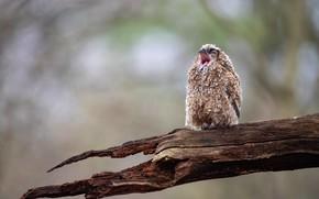 Picture wet, background, tree, owl, bird, beak, chick, Creek, bitches, owlet, opened, squeak