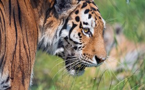 Picture grass, look, face, close-up, nature, tiger, portrait, wild cat, handsome