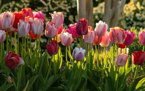 Picture light, flowers, bright, spring, garden, tulips, red, pink, flowerbed, a lot, different