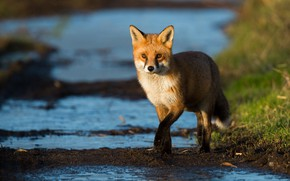 Picture grass, look, water, light, pose, stream, paws, Fox, red, walk, blue background, Fox