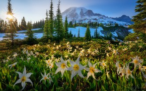 Picture Sunset, Mt. Rainier National Park, Avalanche Lilies