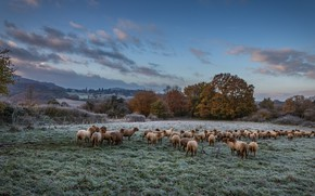Picture frost, field, autumn, the sky, clouds, trees, landscape, nature, blue, sheep, pasture, meadow, sheep, the …