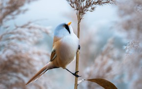 Picture bird, a blade of grass, Bearded Tits, panicle
