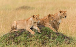 Picture field, grass, look, nature, pose, hill, three, wild cats, lions, lioness, lie, lioness