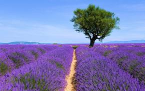 Picture flowers, tree, lavender, plantation, lavender field