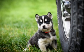 Picture grass, look, pose, background, dog, wheel, baby, puppy, face, sitting, lawn, husky, bus, Siberian husky