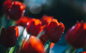 Picture light, blur, spring, garden, tulips, red, buds, flowerbed, bokeh