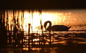Picture the sun, light, glare, ruffle, silhouette, grace, Swan, gold, pond