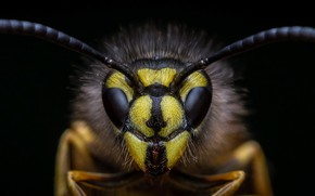 Picture macro, insect, Symmetrical wasp