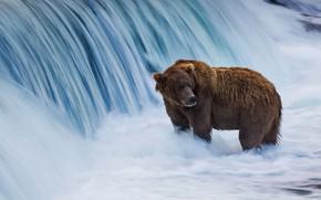Picture Alaska, USA, brown bear, Национальный заказник Катмай