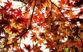 Picture autumn, leaves, tree, colorful, maple, autumn, leaves, maple