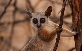 Picture look, lemur, animal