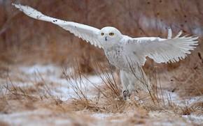 Picture flight, nature, owl, bird, wings, white, flies, stroke, polar, the scope, snowy owl