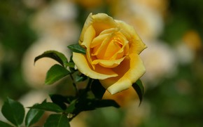 Picture flower, leaves, background, rose, garden, Bud, yellow, bokeh