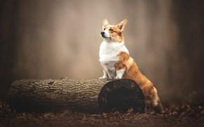 Picture dog, log, bokeh, Welsh Corgi
