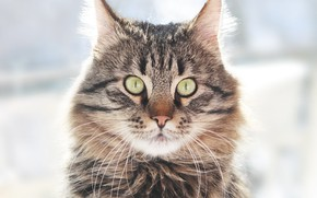 Picture look, Cat, handsome, Maine Coon