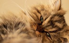 Picture cat, look, fluffy, muzzle, cat, Persian cat